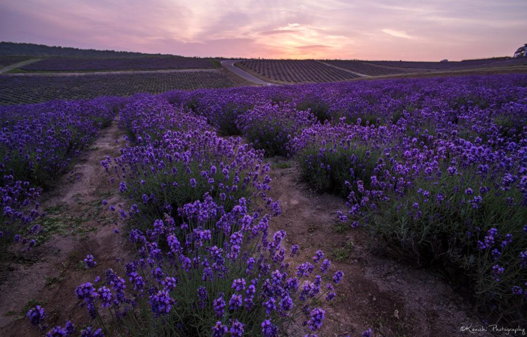 夜明けのラベンダー畑を撮影